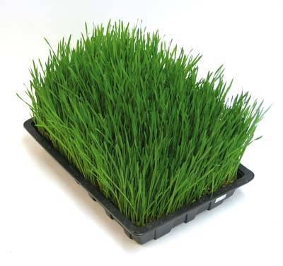 barleygrass.jpg