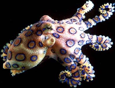 blueringedoctopus.jpg