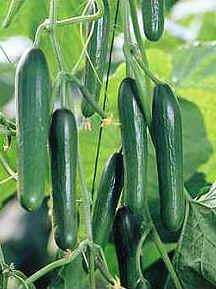 cucumbers2.jpg