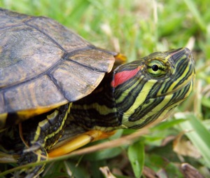 red-eared_slider.jpg